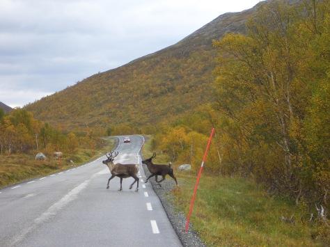 ...watch out car, reindeer crossing...:-)