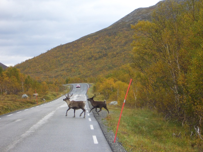 ...watch out car, reindeer crossing...:-)