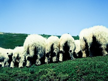 hello sheep :-) ...they just showed us there asses ;-)