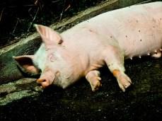 Schwein müsste man sein...